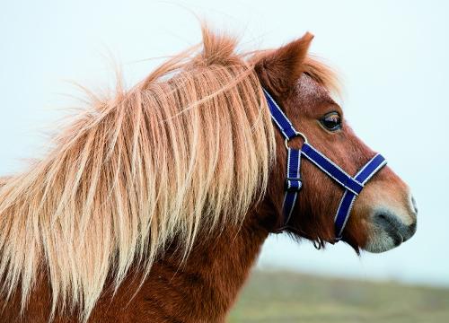 Amigo Petite Halter for miniature horses